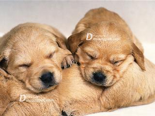 训练狗狗学会定点大小便,广州专业金毛训犬学校以真实案例讲述