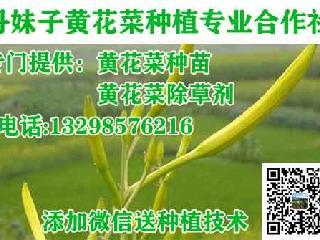 黄花菜种苗多少钱